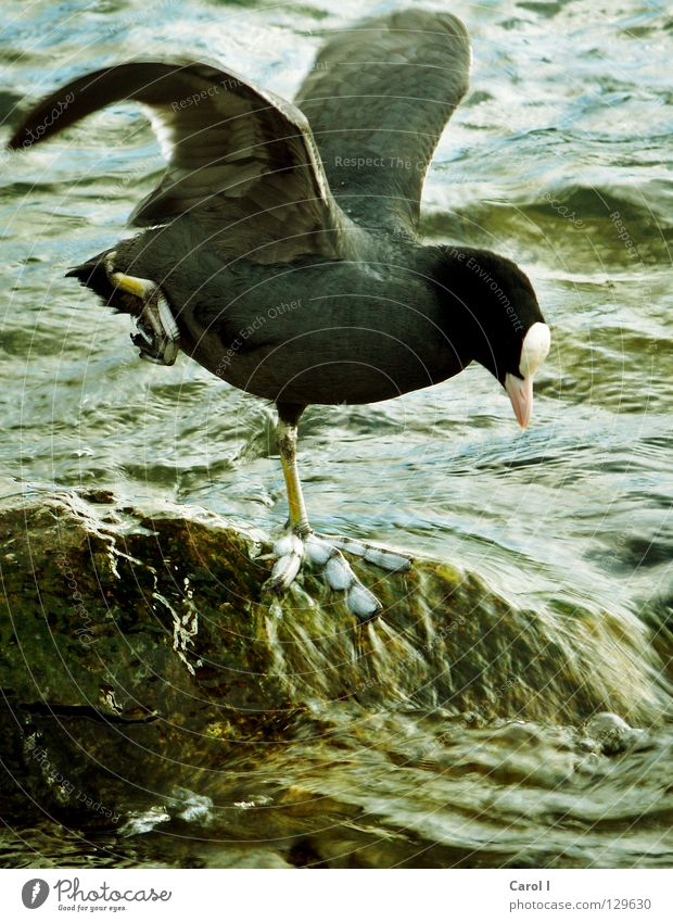 Blue Green Water Dark Black Legs Lake Stone Feet Bird Waves Wild animal Wind Feather Stand Wing
