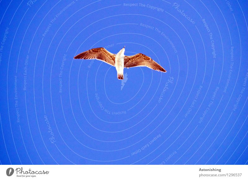 Seagull in flight I Animal Air Sky Cloudless sky Weather Beautiful weather Essaouira Morocco Wild animal Bird Wing 1 Flying Elegant Tall Blue Brown White