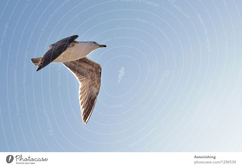 Seagull in flight II Animal Air Sky Cloudless sky Weather Beautiful weather Warmth Essaouira Morocco Wild animal Bird Animal face Wing 1 Flying Looking Elegant