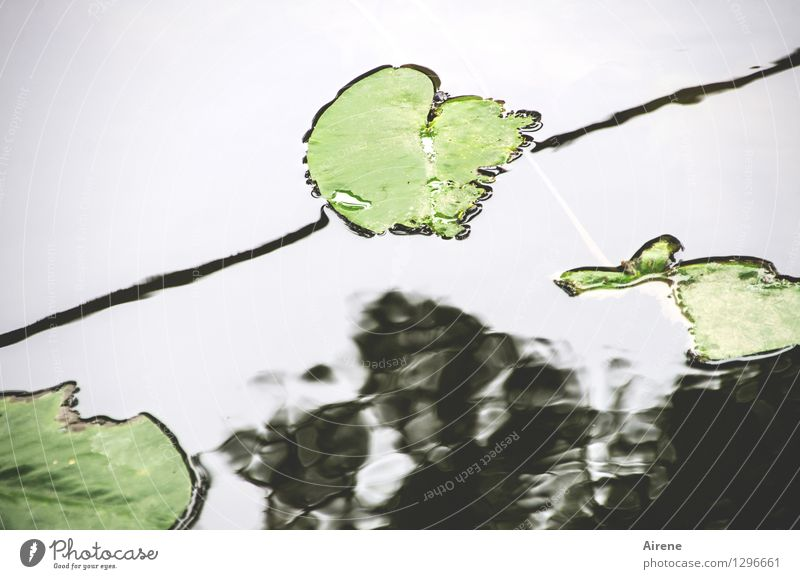 0815 AST | superficial Plant Leaf Water lily leaf Water lily pond Lakeside River bank Pond Regnitz river Sign Line Swimming & Bathing Growth Above Green Black