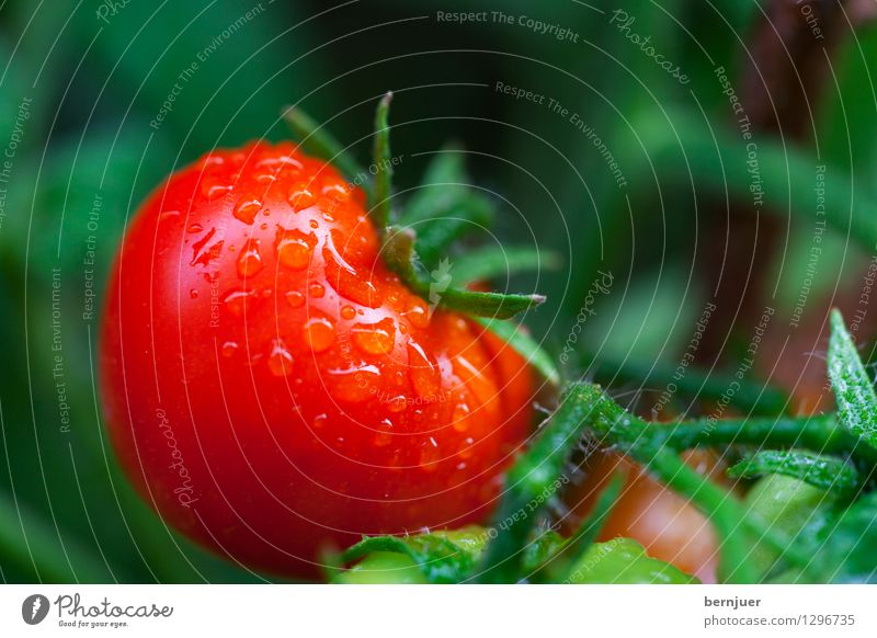 tomatoes Food Vegetable Lettuce Salad Organic produce Vegetarian diet Healthy Overweight Hang Cheap Good Delicious Honest Life Tomato Plant tomato plant Dew