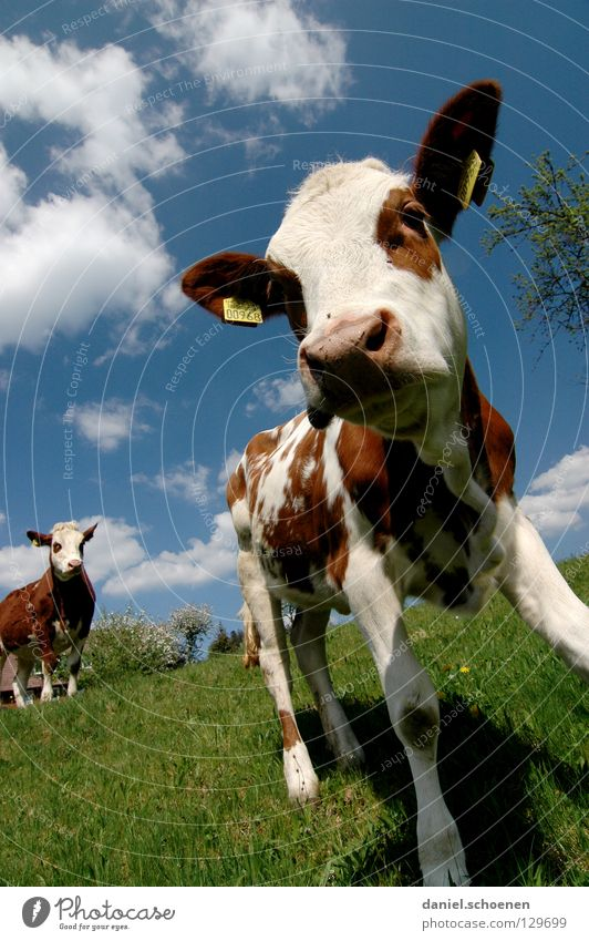 Get off my lawn! Calf Cow Wide angle Agriculture Animal Meadow Summer Spring Green Cyan Vacation & Travel Black Forest Environment Habitat Ecological Clouds