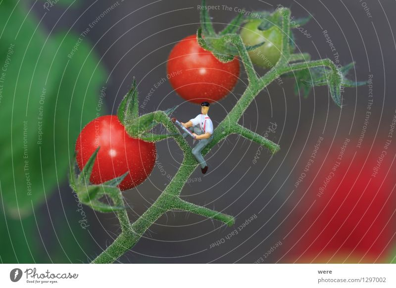 Tomato harvest 3 Garden Agriculture Forestry Human being Nature Plant Architecture Small Environmental protection agricultural economist Farmer Country  garden