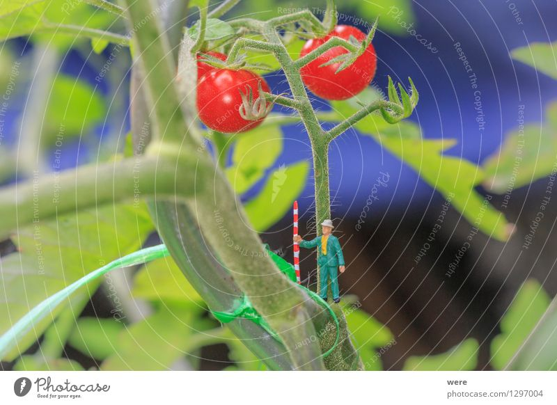 Tomato harvest 2 Garden Agriculture Forestry Human being Nature Plant Architecture Small Environmental protection agricultural economist Farmer Country  garden