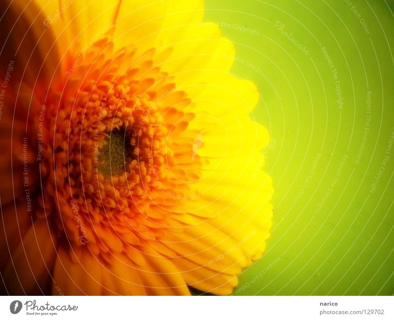 Plant Green Colour Summer Flower Joy Dark Yellow Life Blossom Spring Bright Fresh Soft Gerbera Würzburg