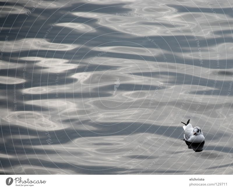 floating Seagull Bird Waves Gray White Black Calm Relaxation Serene Dream Lake Ocean Reflection Surface of water Break Looking Water Lake Constance Shadow