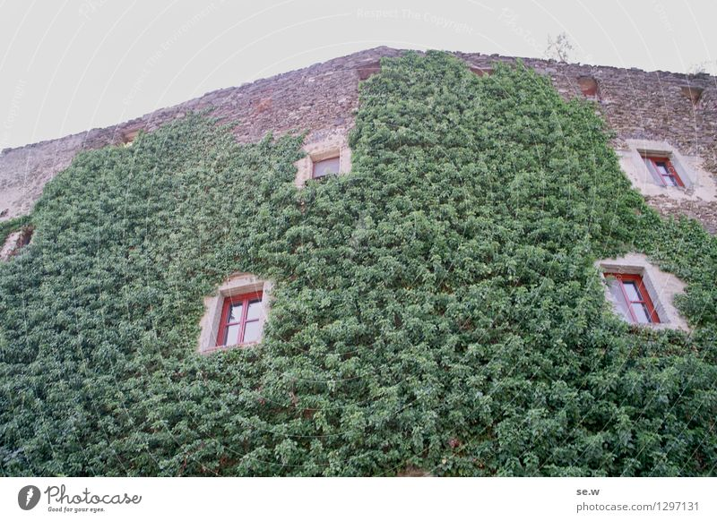 Rapunzel, lower your hair! Ivy Osterburg Federal State of Lower Austria Architecture Castle Castle ruin Green Colour photo Deserted