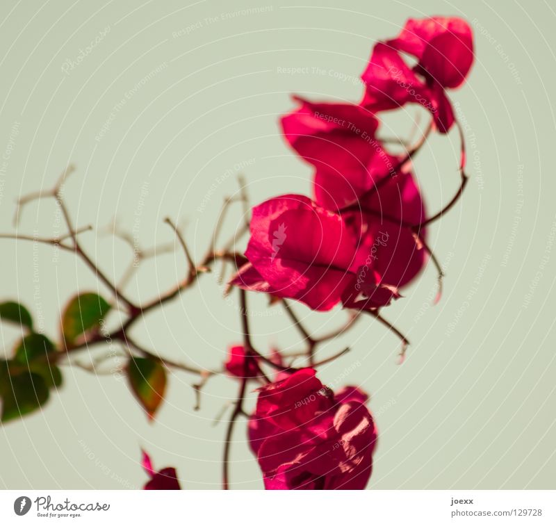 Spring Flowers Beautiful Plant Bushes Blossom Exotic Green Red Transience Bougainvillea Colour photo Subdued colour Close-up Deserted Shallow depth of field