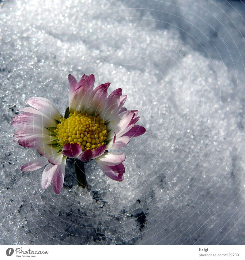 flowering daisy sticks out of the snow Winter Spring Cold Freeze Ice crystal Flower Daisy Blossom leave Stalk Grass Blade of grass Blossoming Side by side