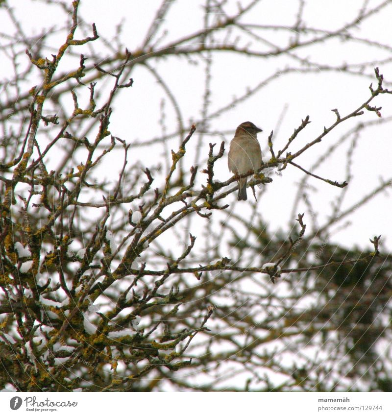 Tree Winter Loneliness Cold Snow Spring Bird Sit Branch Chirping Whistle