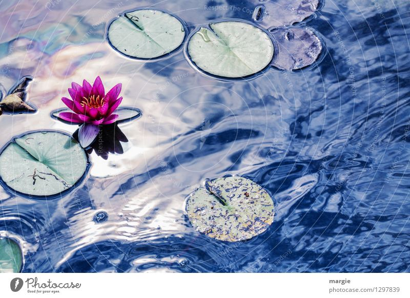 Inspired by Monet: water lily Wellness Relaxation Nature Water Drops of water Sky Sun Sunlight Summer Beautiful weather Plant Flower pink Water lily
