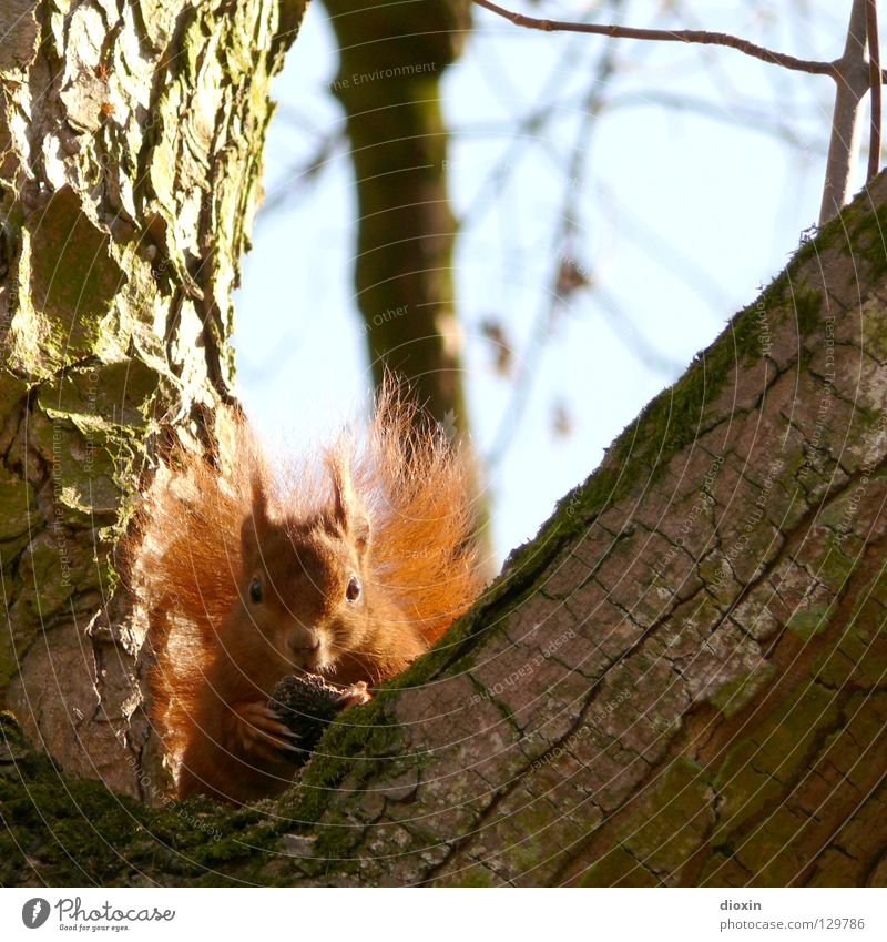 You're not getting up here! Squirrel Oak tree Rodent Mammal Pelt Tails Bushy Button eyes Nutrition To feed Forest Hair and hairstyles Paintbrush Sweet Cute