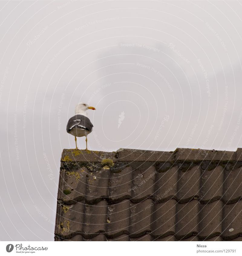 Seagull Seagull Looking To enjoy Bird Beak Lake Ocean Vacation & Travel Roof Dreary Rain Bad weather Roofing tile Clouds House (Residential Structure) Gable
