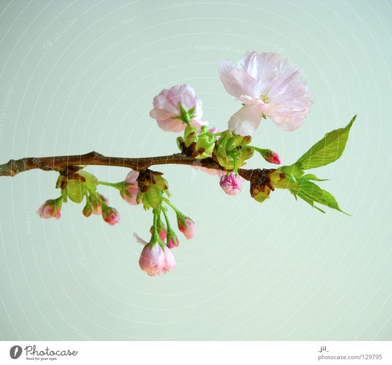 cherry blossom 2 Colour photo Neutral Background Plant Spring Flower Blossom Breathe Relaxation Esthetic Fresh Brown Green Pink Beautiful Beginning Contentment