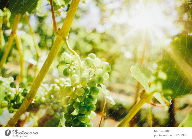 Golden autumn in the vineyard Wine Sunlight Beautiful weather Plant Growth Yellow Green Vine Colour photo Exterior shot Copy Space top Day Evening Light Sunbeam