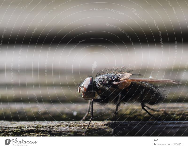 Small Wait Fly Sit Flying Aviation Stripe Near Wing Insect Depth of field Biology Crawl Focal point Mosquitos Plagues