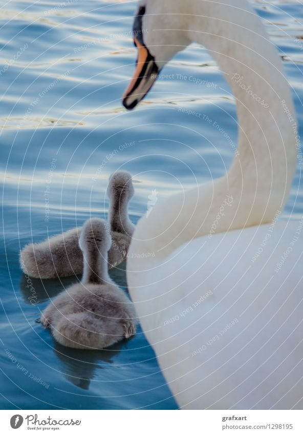 Swan Family Nature Water Animal Baby animal Swimming & Bathing Lake Bird Together Idyll Wild animal Esthetic Group of animals Cute Protection Safety Mother