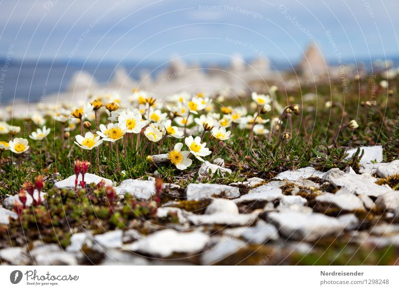 Arctic poppy Nature Landscape Plant Summer Climate Flower Blossom Coast Ocean Blossoming Growth Uniqueness Perspective Pure Poppy Finnmark Norway Sparse