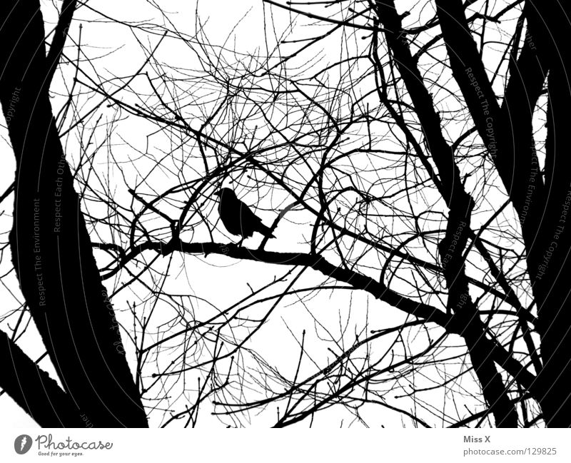 Where's my raven father? Crow Bird Raven birds Black White Tree Branch Black & white photo Twig
