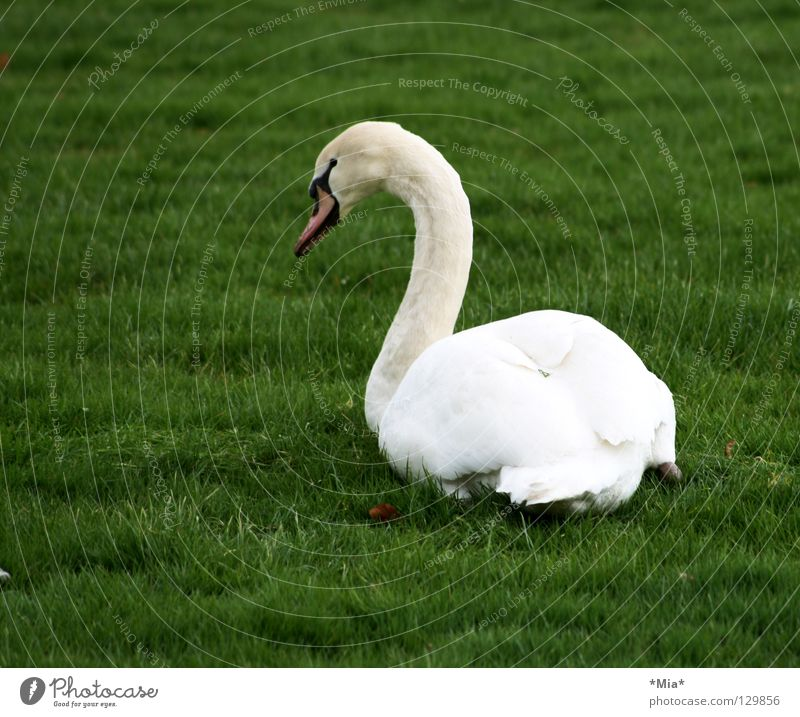 white blob on green Swan White Green Beak Looking away Grass Side Bird Animal Lawn Neck Feather