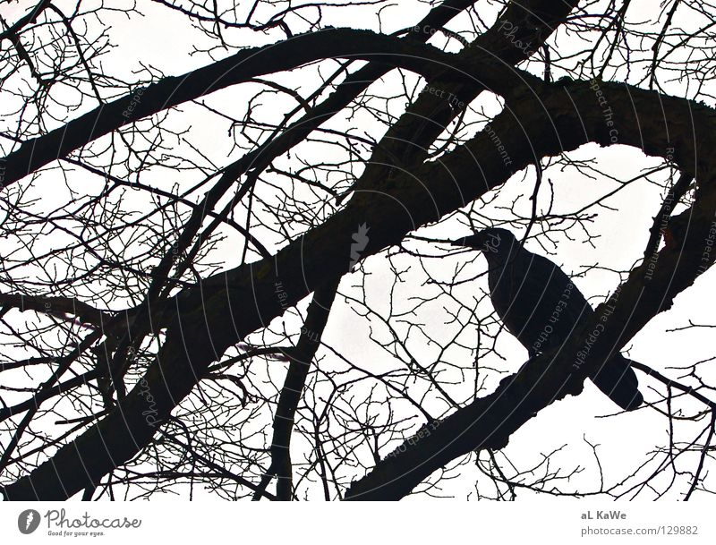 Black and White Vs. Crow Raven birds Tree Winter Bad weather Black & white photo Bird crow Branch black & white