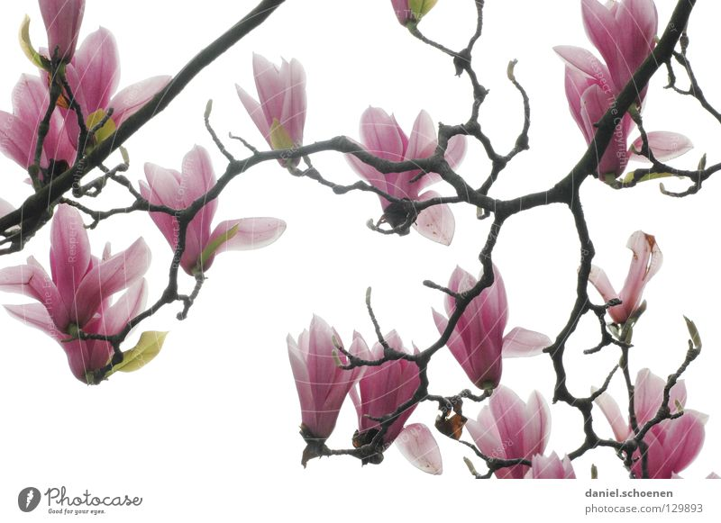 Beautiful White Tree Plant Red Blossom Spring Bright Pink Background picture Branch Bud Blossom leave Magnolia plants