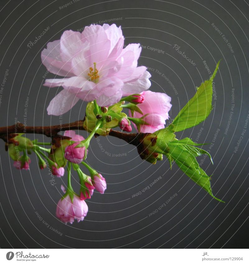 cherry blossom 3 Elegant Happy Beautiful Calm Fragrance Environment Nature Plant Spring Flower Blossom Soft Brown Gray Green Pink Esthetic Cherry blossom Branch