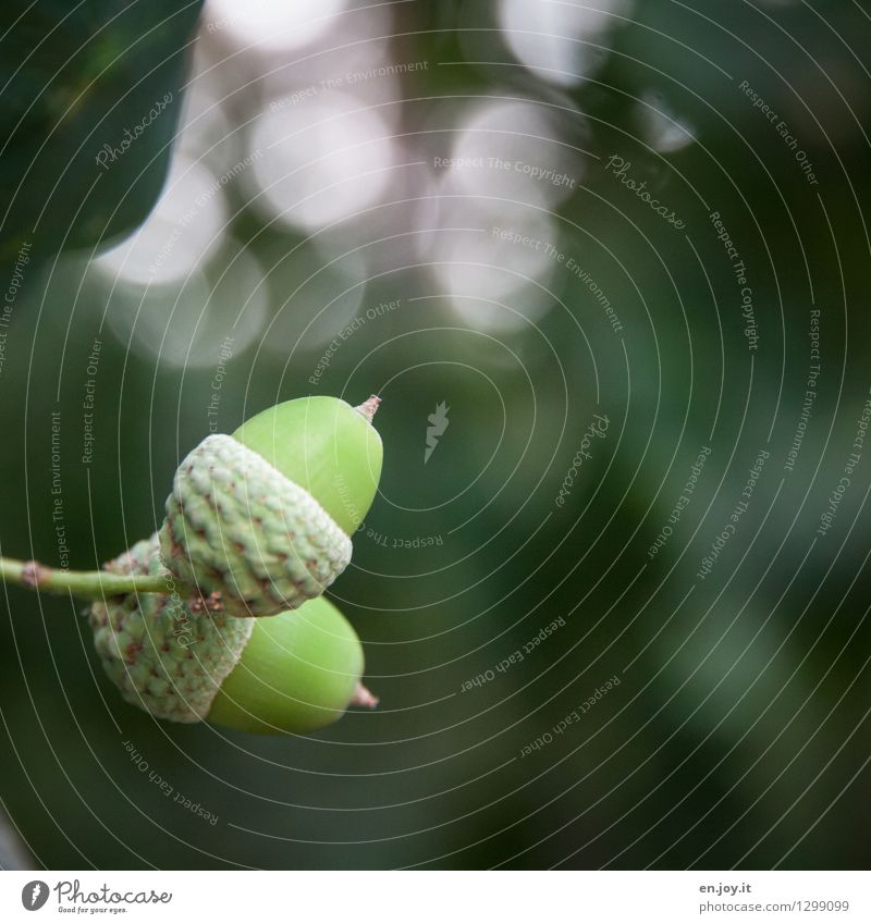 up and down Nature Plant Autumn Tree Acorn Green Beginning Life Growth Change Fruit Oak tree Seed plant Colour photo Subdued colour Exterior shot Close-up