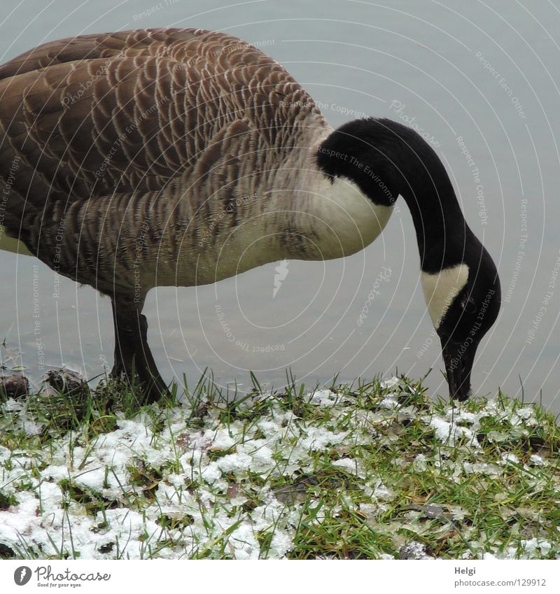 Water White Animal Black Cold Snow Grass Spring Lake Legs Bird Ice Brown Flying Stand Feather