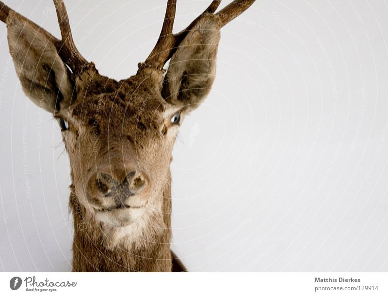 ...I'm not Deer Elk Roe deer Animal Forest animal Antlers Eyelash Eyebrow Background picture Half Division Memory Souvenir Hunter Set of teeth Habitat Obscure