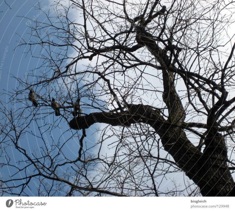 crows in the tree Colour photo Exterior shot Deserted Worm's-eye view Sky Tree Animal Bird Crow 3 Blue Death Twigs and branches Branch The Grim Reaper