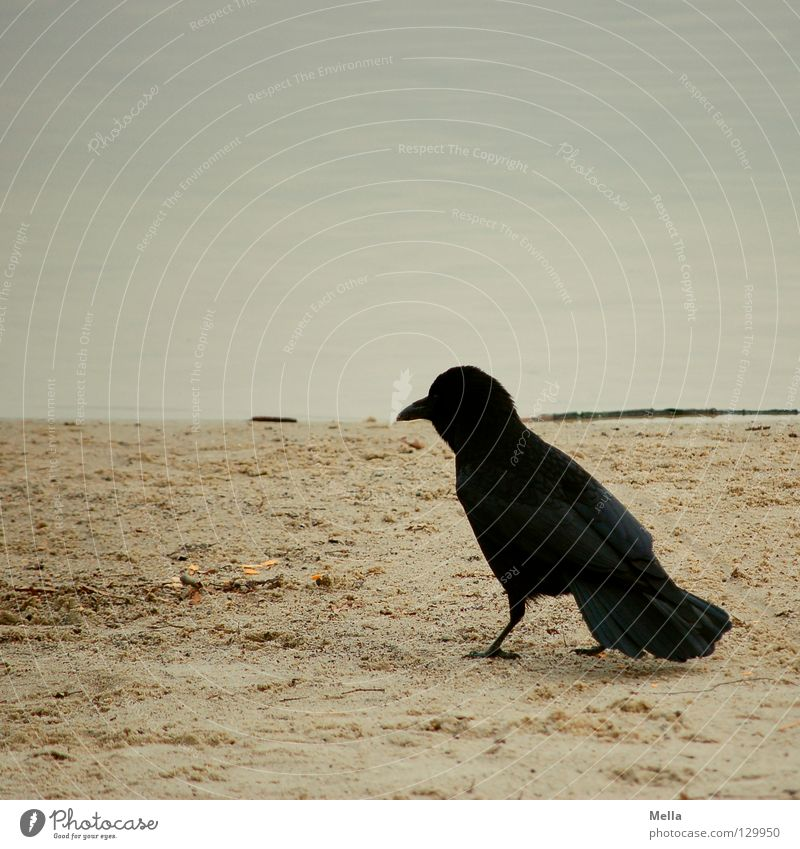 Nature Water Beach Animal Sand Bird Coast Going Environment Walking Sit Gloomy Stand Natural Crouch Crow