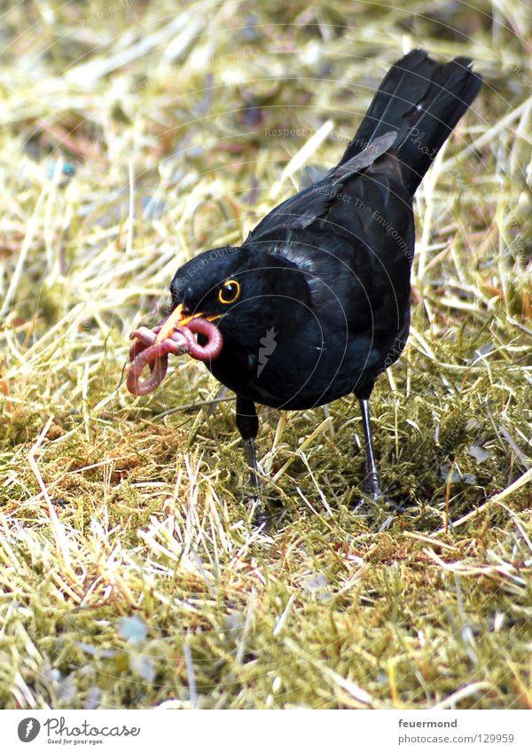 Poor little worm Blackbird Throstle Bird Animal Feed Worm Nutrition Feather Food Earthworm Black Thrush