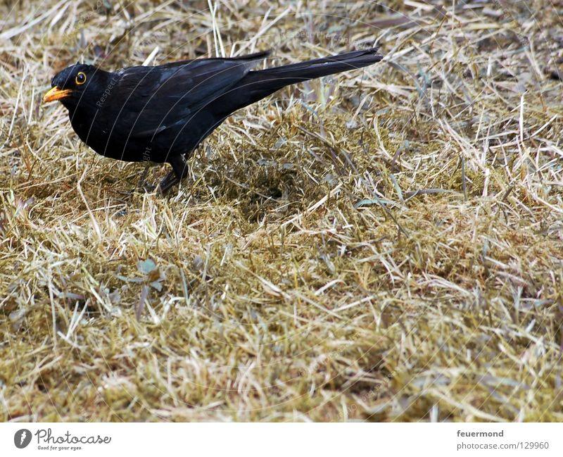 Don't look like that. Blackbird Throstle Bird Animal Feed Worm Nutrition Feather Food Earthworm Black Thrush