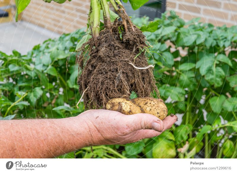 Hand holding fresh potatoes Vegetable Summer Garden Work and employment Gardening Man Adults Environment Nature Plant Earth Dirty Fresh Brown Green chips