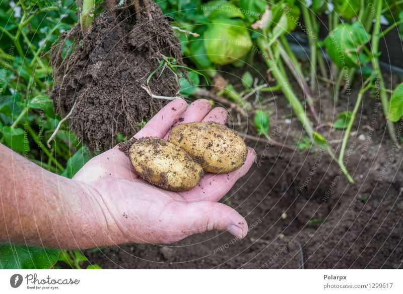 Fresh potatoes in a garden Vegetable Summer Garden Work and employment Gardening Man Adults Hand Environment Nature Plant Earth Dirty Brown Green chips Potatoes