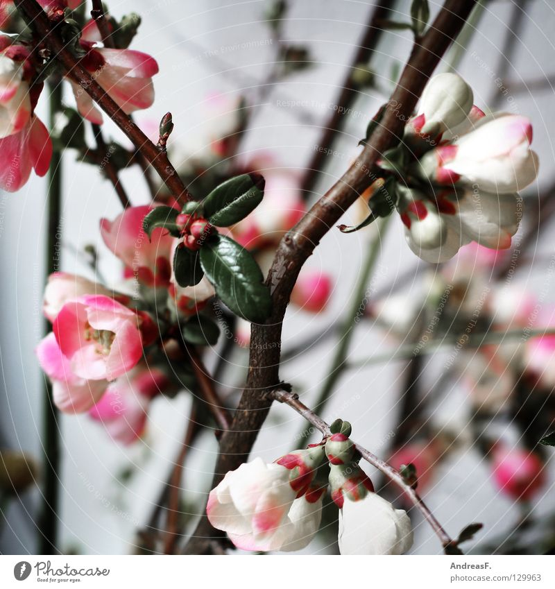 Japanese cherry Blossom Bouquet Spring Pink Cherry blossom Blossom leave Vase Gray Bushes Decoration Blossoming fruit blossom pink flowers Nature Multicoloured