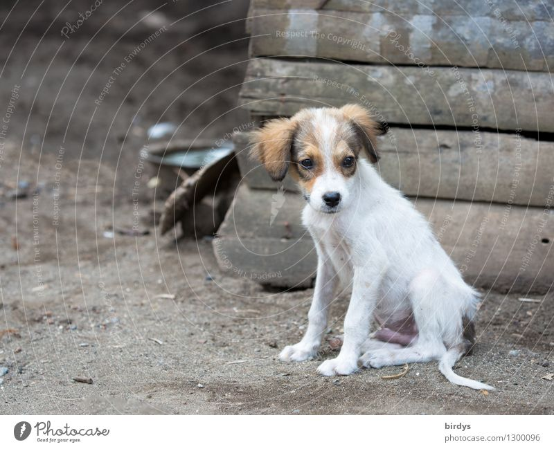 Dog Beautiful Animal Baby animal Natural Small Authentic Sit Observe Cute Pet Rural Puppy Crossbreed