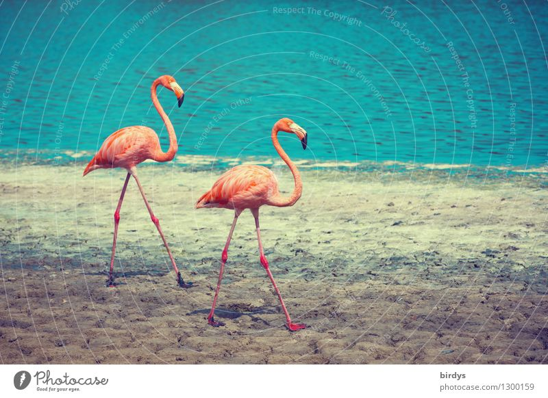 pair run Nature Water Beautiful weather Lakeside Wild animal Flamingo 2 Animal Pair of animals Going Esthetic Authentic Elegant Exotic Together Positive Thin