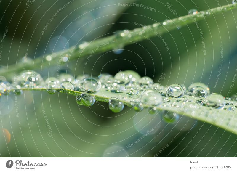 water drops Nature Animal Elements Water Sunlight Summer Plant Grass Common Reed Green Dew Drops of water Morning Colour photo Subdued colour Exterior shot