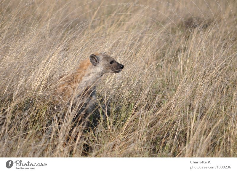 hyena Nature Animal Beautiful weather Grass Grassland Steppe Wild animal Hyaena 1 Crouch Looking Sit Free Natural Smart Dry Brown Gray Self-confident Calm
