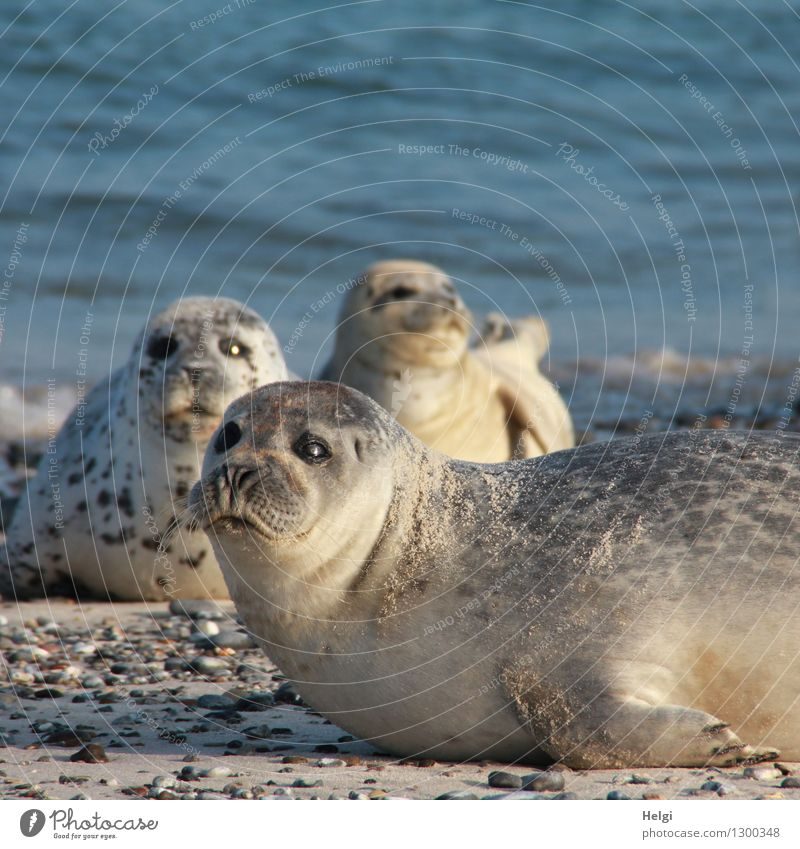 pretty close... Environment Nature Animal Water Summer Beautiful weather Beach North Sea Island Helgoland Wild animal Harbour seal 3 Lie Looking Exceptional