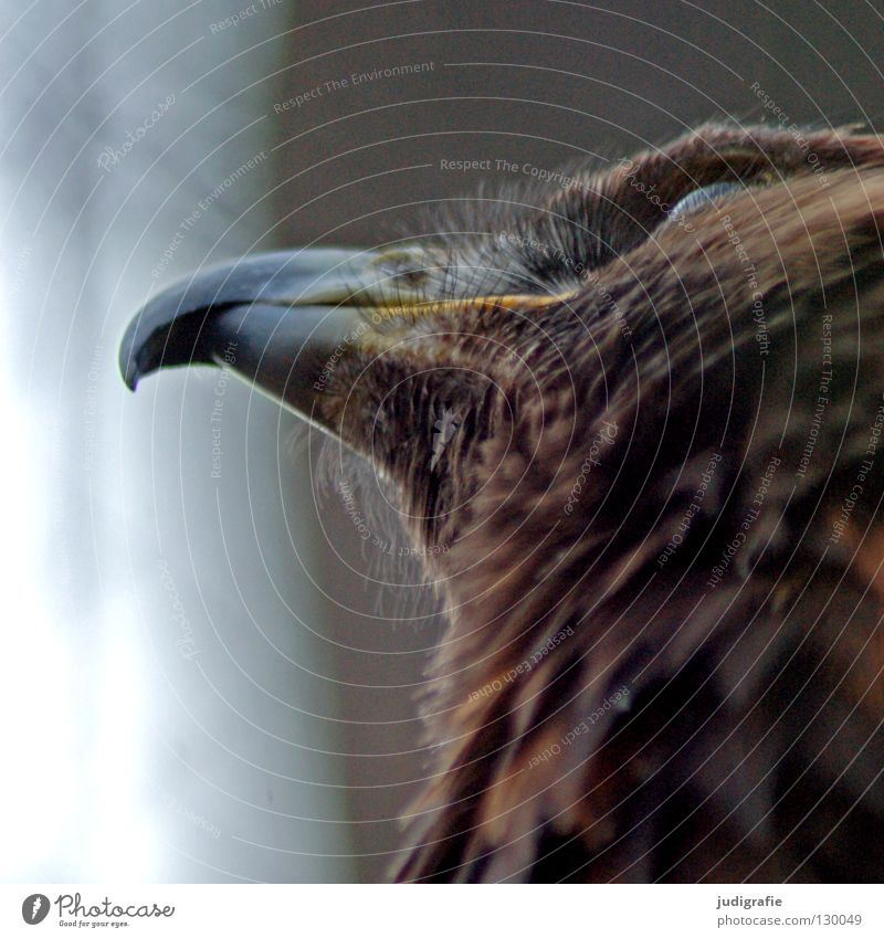 eagle Eagle Bird Bird of prey Beak Longing Worm's-eye view Feather Ornithology Animal Beautiful Environment Colour steppe eagle Looking Above Pride Life Nature