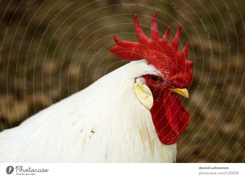 White Red Animal Black Bird Masculine Feather Pet Beak Farm animal Impressive Rooster Boast Airs and graces