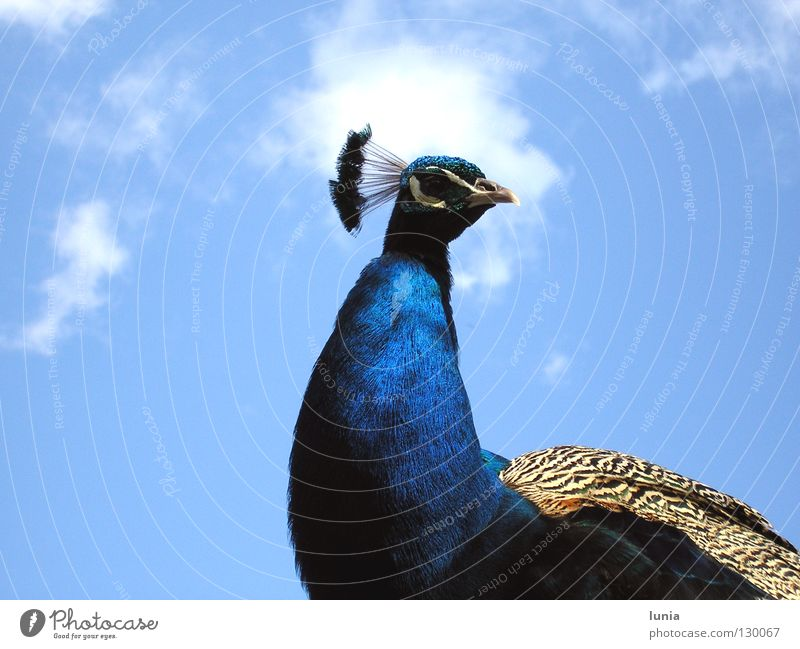 And what do you want? Peacock Clouds Animal Bird Blue Sky Feather