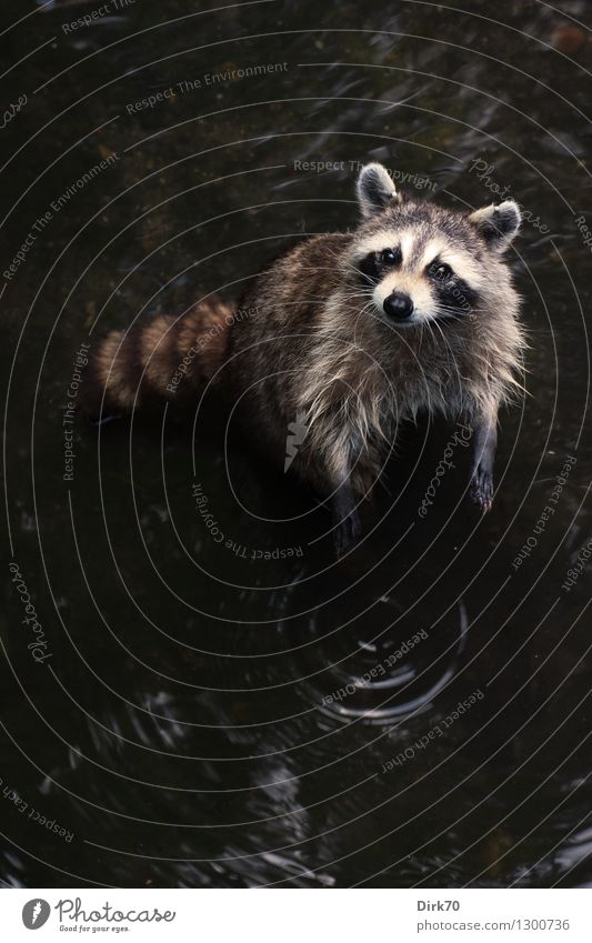 Large laundry Environment Nature Animal Water Park Lakeside Pond New York City Central Park Wild animal Animal face Mammal Raccoon 1 water rings Circle