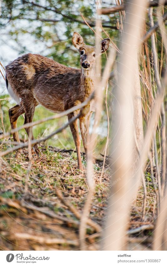 Animal good: Bambi Sunrise Sunset Spring Beautiful weather Forest Wild animal 1 Exceptional Kitsch Roe deer Timidity Colour photo Exterior shot