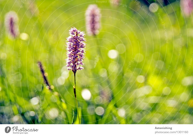 toothbrush Environment Nature Landscape Plant Summer Weather Beautiful weather Flower Grass Leaf Blossom Foliage plant Wild plant knotweed Meadow Austria Bright