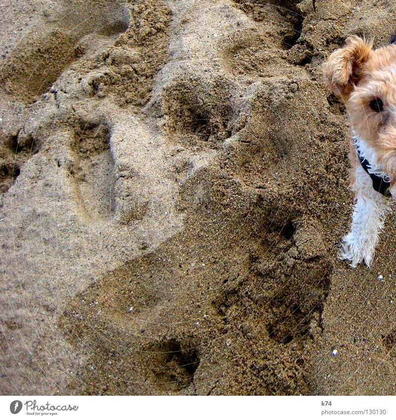 HALF DOG Dog Beach Beige Animal Pelt White Grain of sand Mammal Sand stripless Ear Legs Tracks