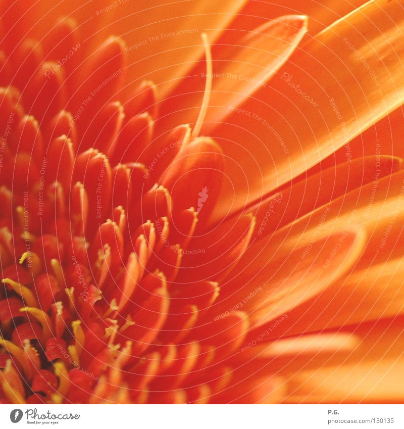 Detail of a Gerbera Flower Macro (Extreme close-up) Blossom Plant Colour macro photography Orange
